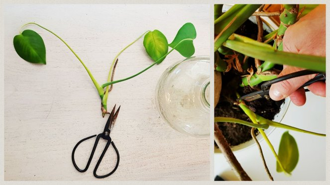 Monstera Ableger richtig schneiden auswählen Blätter ausdünnen Luftwurzel