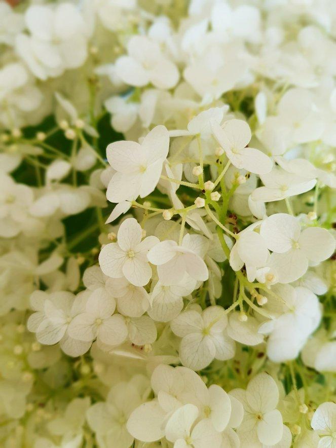 BLüten der Schneeball-Hortensie.jpg